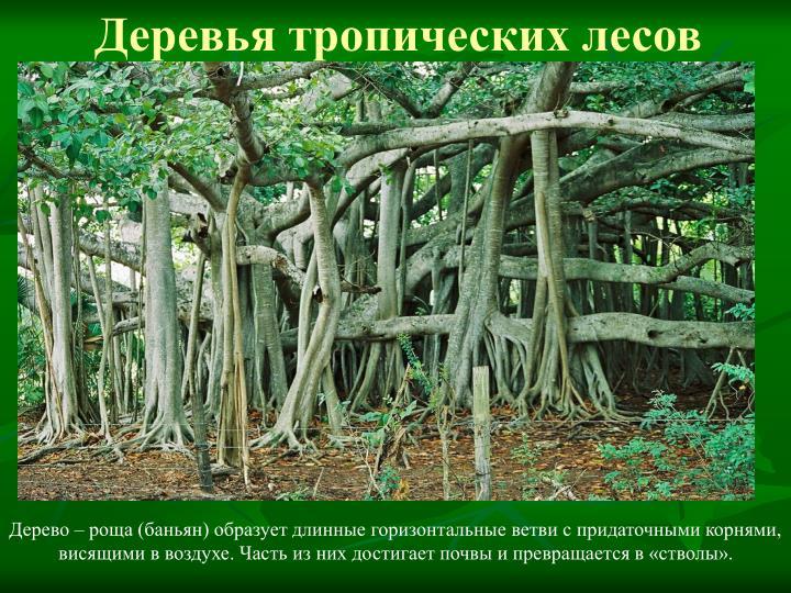 Деревья тропических лесов