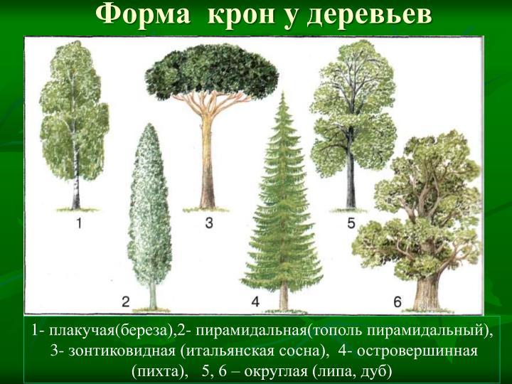 Форма  крон у деревьев