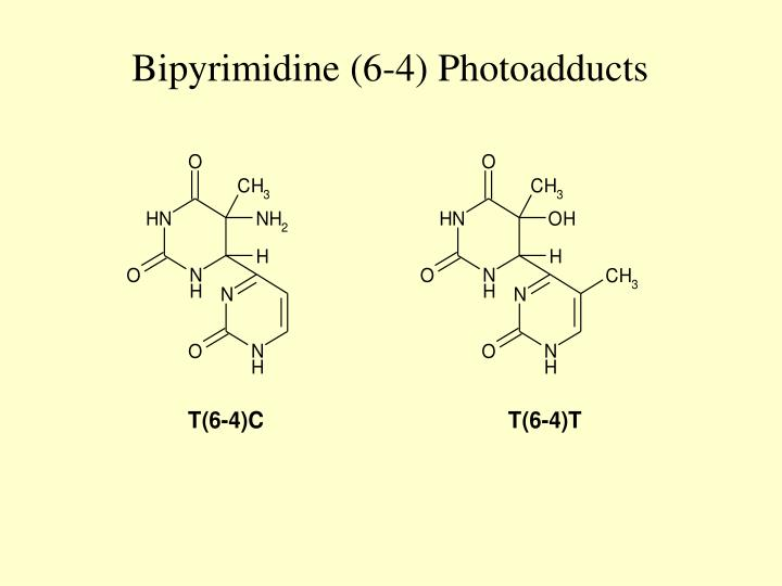 Bipyrimidine (6-4) Photoadducts