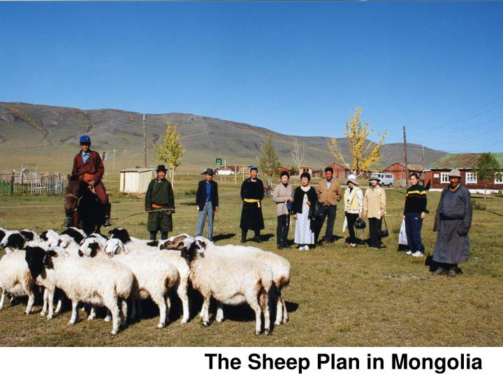 The Sheep Plan in Mongolia
