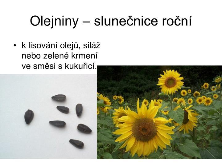 Olejniny – slunečnice roční
