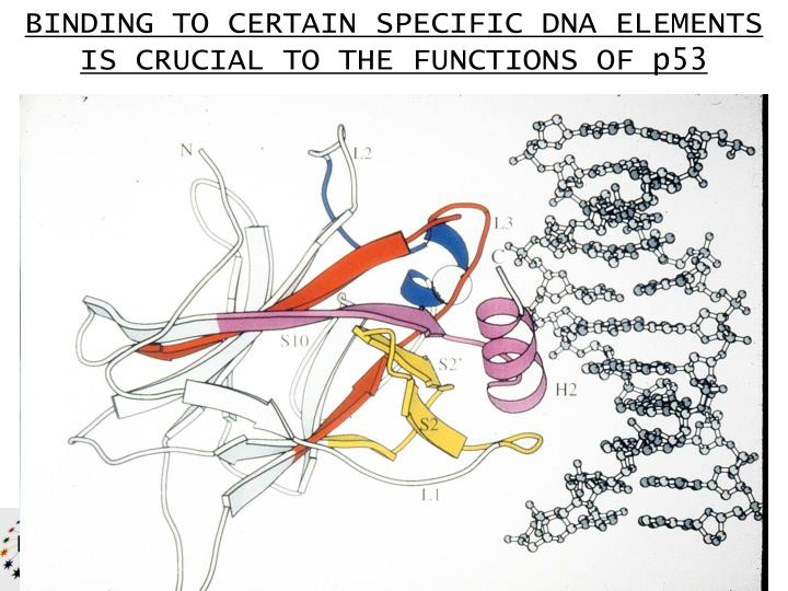 BINDING TO CERTAIN SPECIFIC DNA ELEMENTS