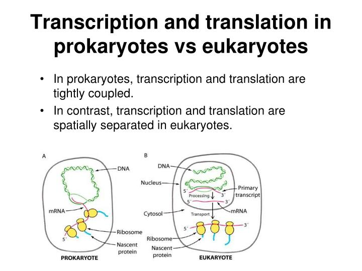 transcription in prokaryotes and eukaryotes Gene expression in eukaryotes is much more complex than in prokaryotes prokaryotic gene expression: 1 transcription enzyme: one.