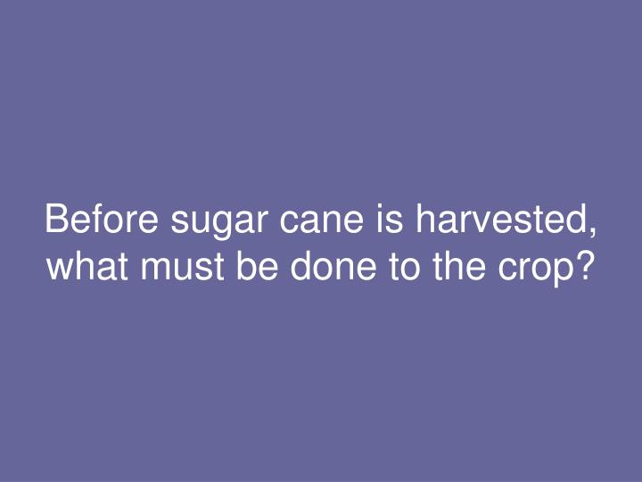 Before sugar cane is harvested, what must be done to the crop?