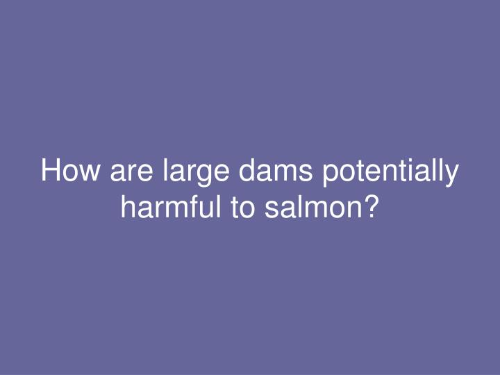 How are large dams potentially harmful to salmon?