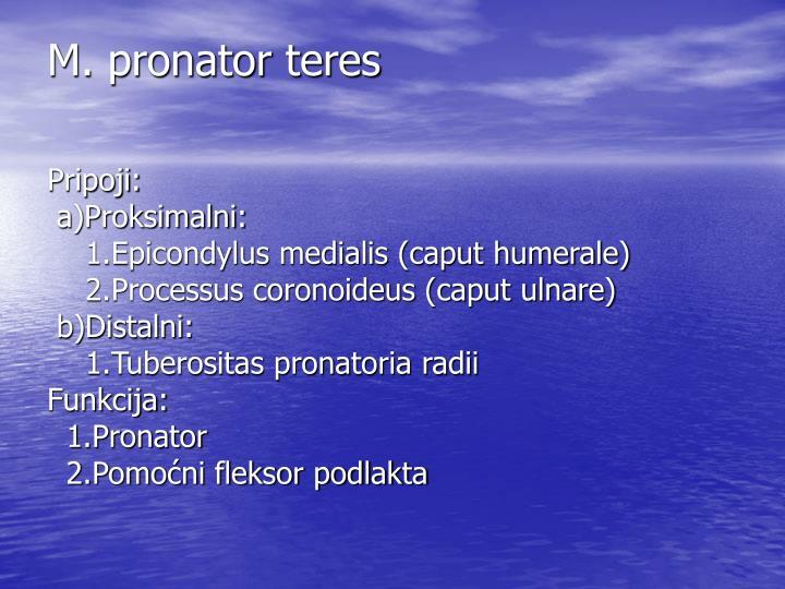 M. pronator teres