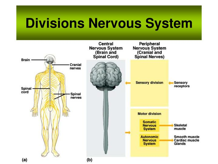 Divisions Nervous System