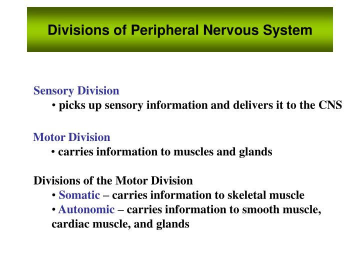 Divisions of Peripheral Nervous System