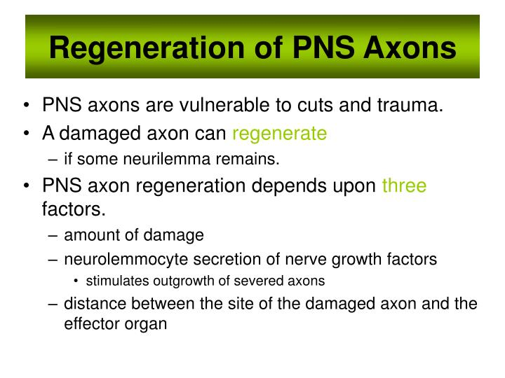 Regeneration of PNS Axons