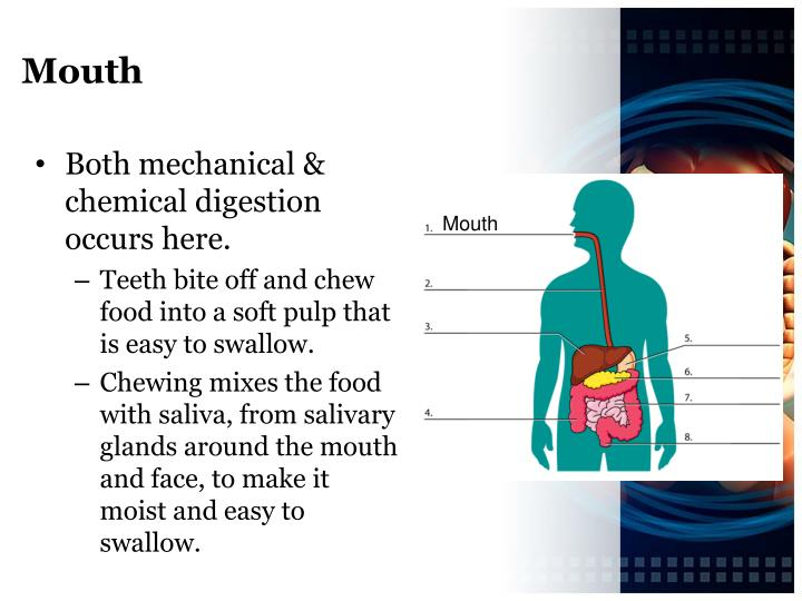 Ppt - The Digestive System Powerpoint Presentation