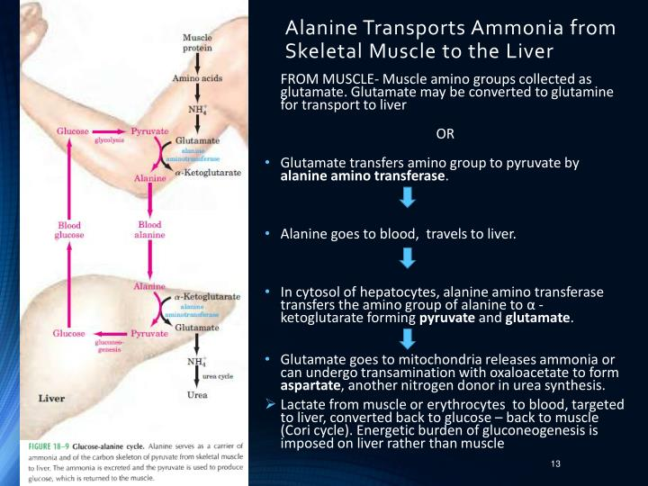 Alanine Transports Ammonia from Skeletal Muscle to the Liver