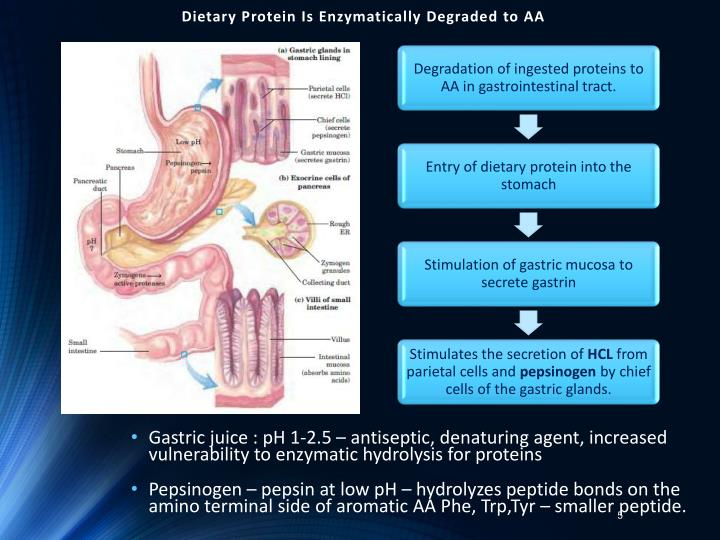 Dietary Protein Is Enzymatically Degraded to AA