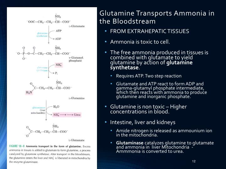 Glutamine Transports Ammonia in the Bloodstream