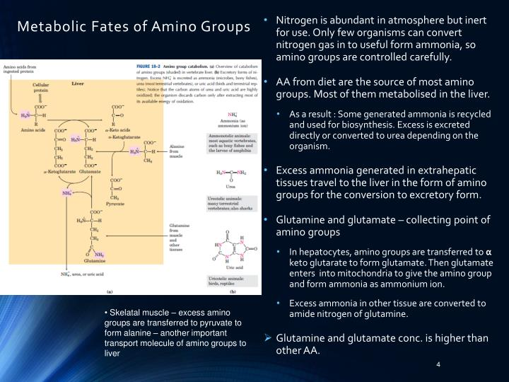 Metabolic Fates of Amino Groups