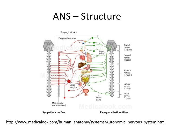 ANS – Structure