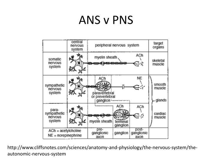 ANS v PNS