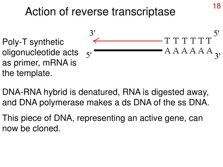 Action of reverse transcriptase