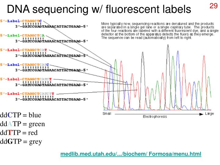 DNA sequencing w/ fluorescent labels