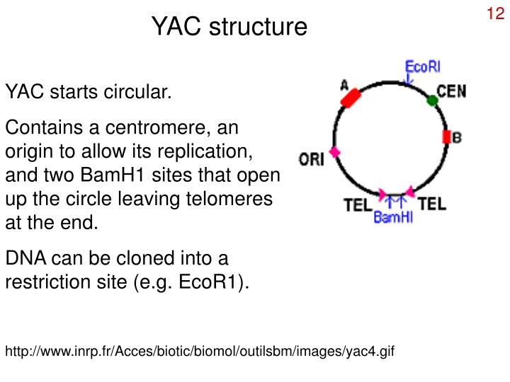 YAC structure