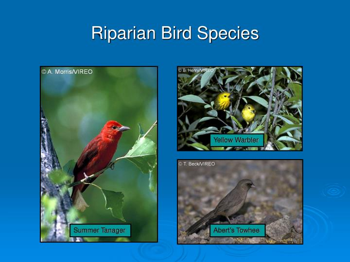 Riparian Bird Species