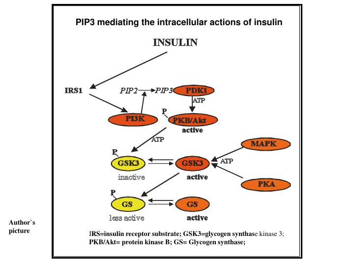 PIP3 mediating the intracellular actions of insulin