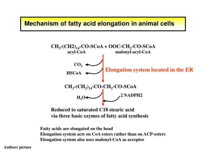 Mechanism of fatty acid elongation in animal cells