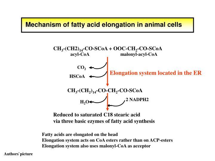 Mechanism of fatty acid elongation in animal cells