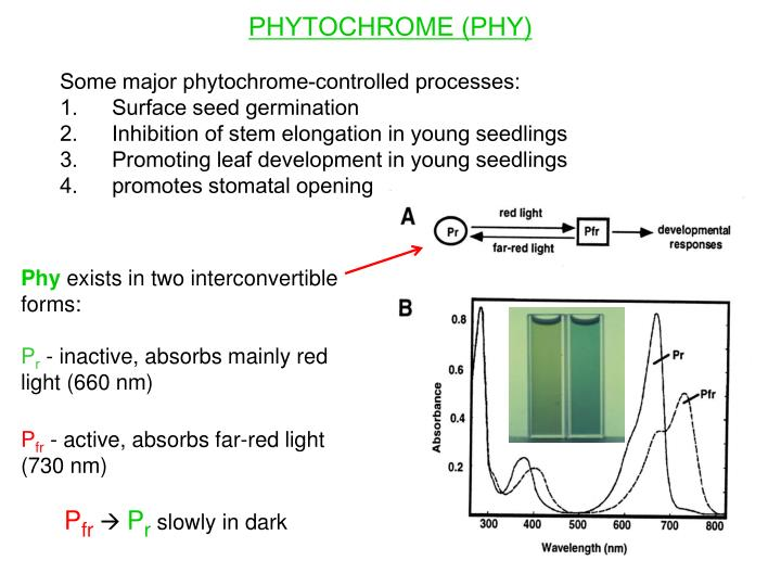 PHYTOCHROME (PHY)
