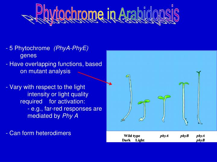 Phytochrome in Arabidopsis