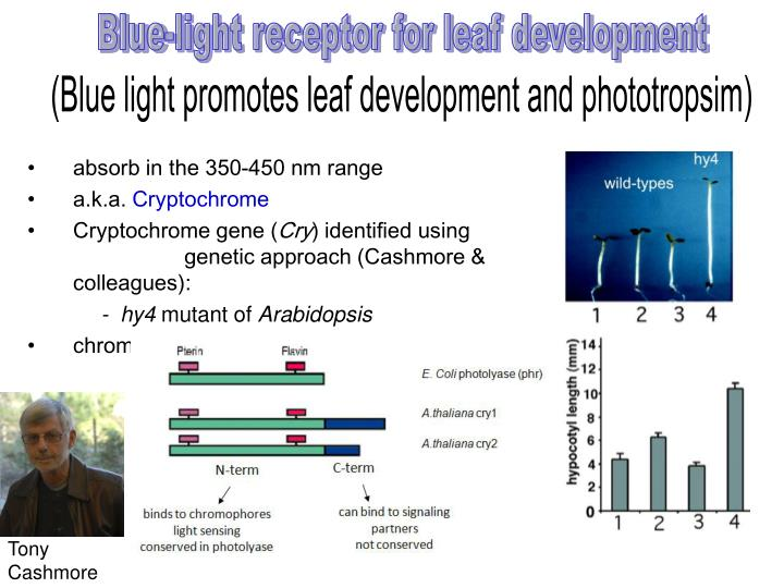 Blue-light receptor for leaf development