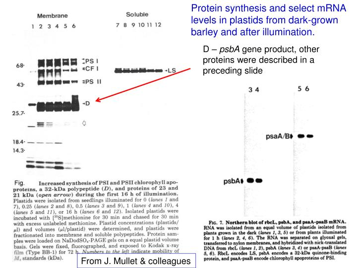 Protein synthesis and select mRNA levels in plastids from dark-grown barley and after illumination.