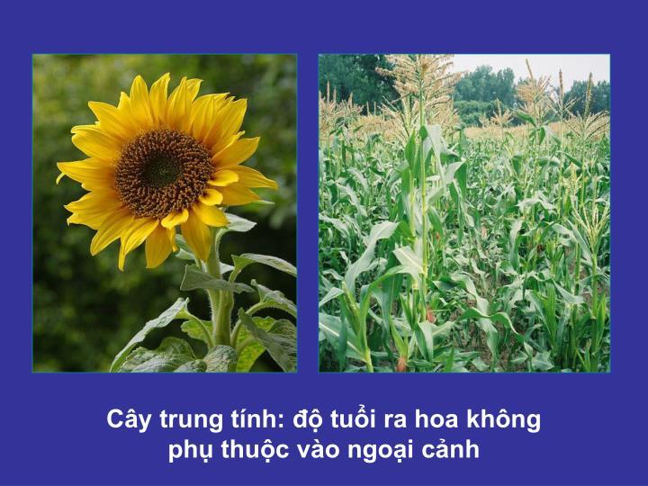 Cây trung tính: độ tuổi ra hoa không phụ thuộc vào ngoại cảnh