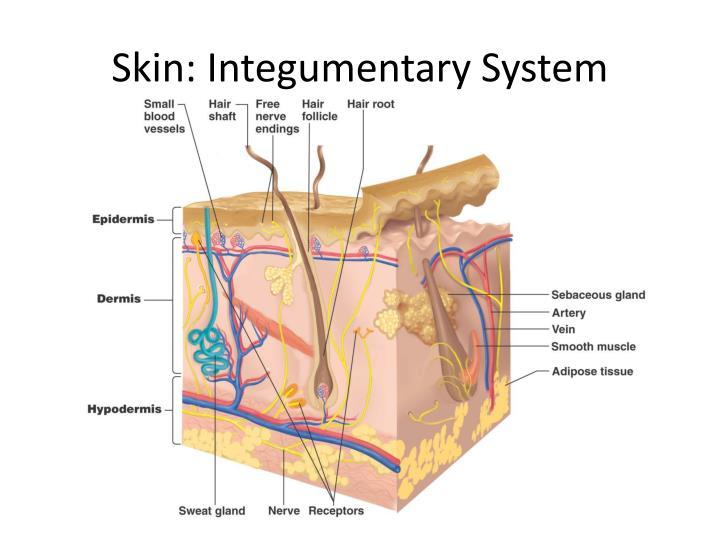Skin: Integumentary System