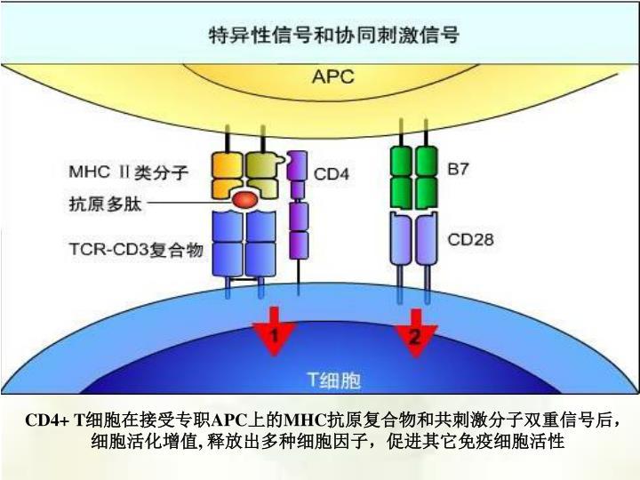 CD4+ T