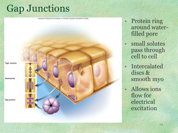 Gap Junctions