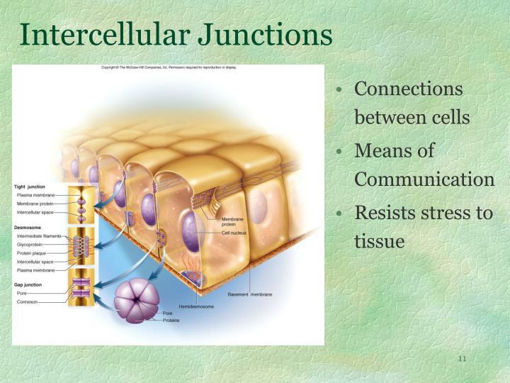 Intercellular Junctions