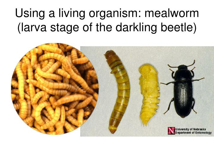 Using a living organism: mealworm (larva stage of the darkling beetle)