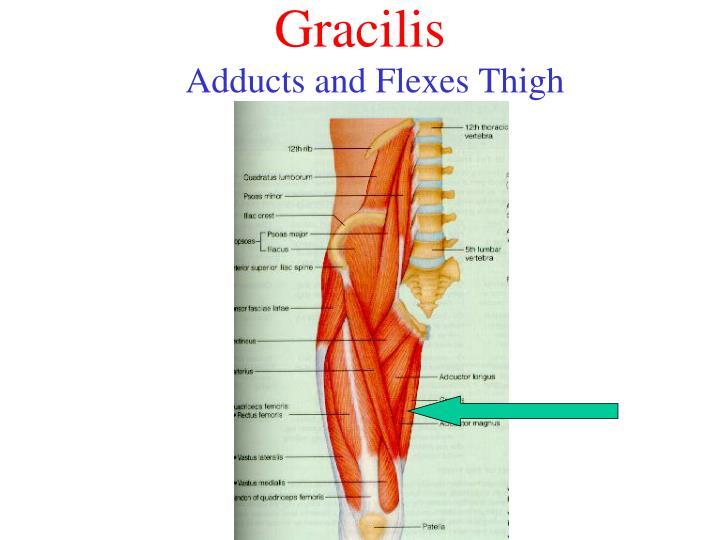 Gracilis