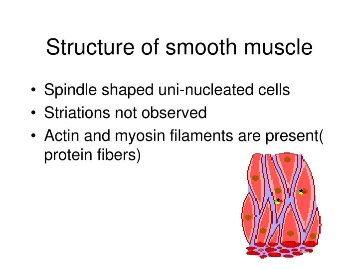 Structure of smooth muscle