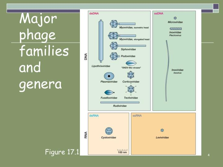 Major phage families and genera