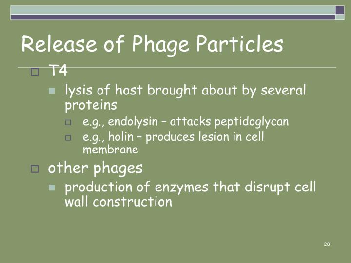 Release of Phage Particles
