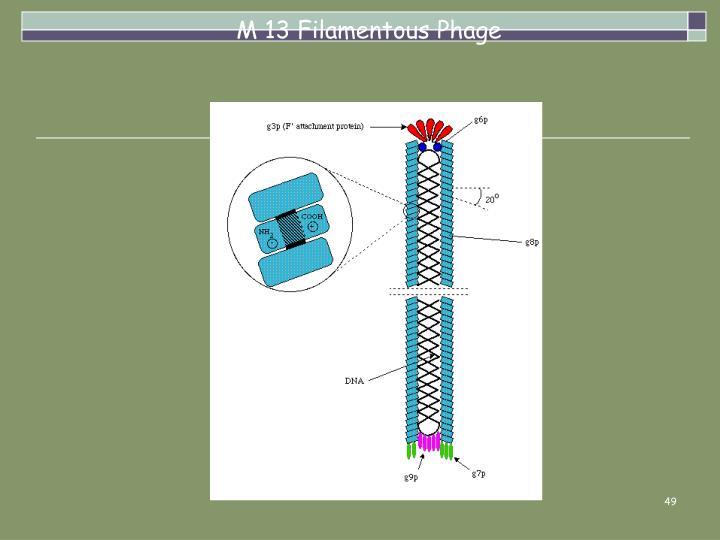 M 13 Filamentous Phage