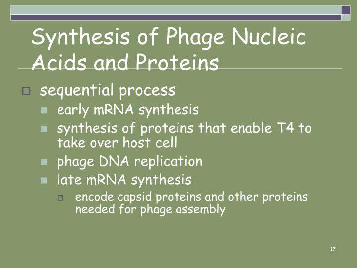Synthesis of Phage Nucleic Acids and Proteins