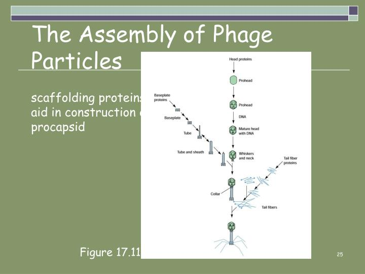 The Assembly of Phage Particles