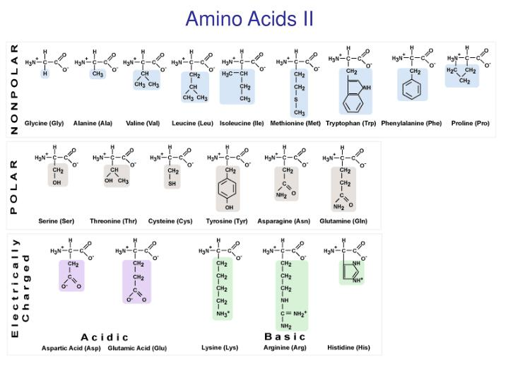 Amino Acids II