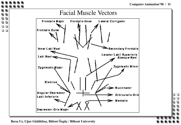 Facial Muscle Vectors