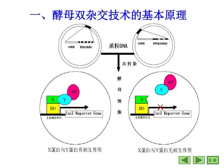 一、酵母双杂交技术的基本原理