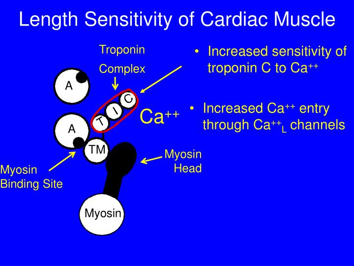 Length Sensitivity of Cardiac Muscle