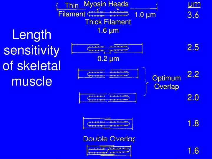 Myosin Heads