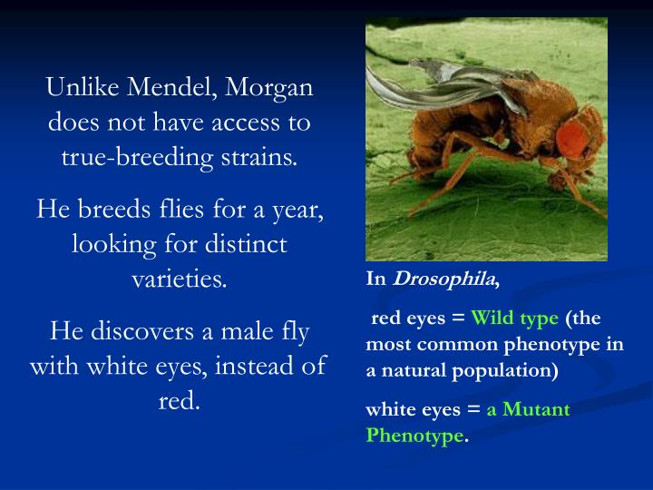 Unlike Mendel, Morgan does not have access to true-breeding strains.